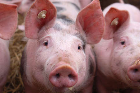 Cute young pigs in a pigpen Stock Photo