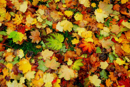 Colorful carpet of autumn leaves on the ground