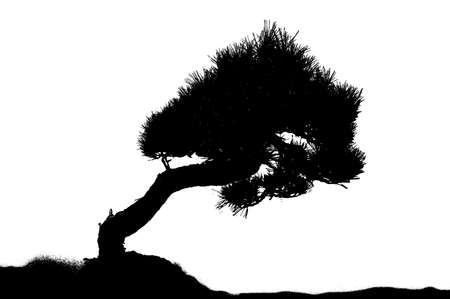 Silhouette of an asian pine tree Stock Photo - 3733719