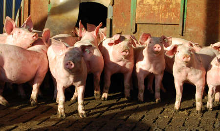 Pigs in a stable on a farm Stock Photo