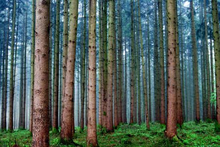 Rainy day in a pine forest Stock Photo