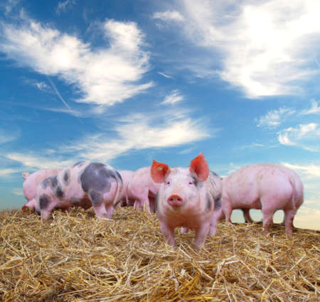 Gang of young pigs on straw with blue sky Standard-Bild
