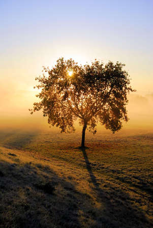 Lonely autumn  tree with golden sunrise backlight photo