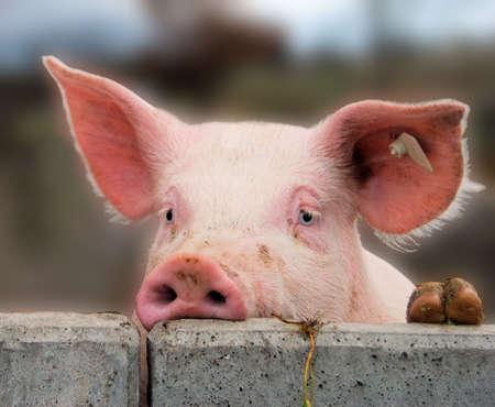 porcellini: Giovane maiale carino che domina un muro di cemento