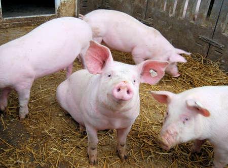 porcellini: Carino suini giovani di fieno in un maialino