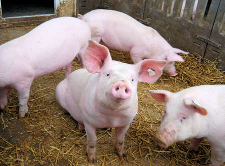 Cute young pigs on hay in a piglet Standard-Bild