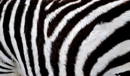 Close view on the skin of a zebra photo