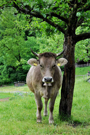 Swiss cow with bell under a tree photo