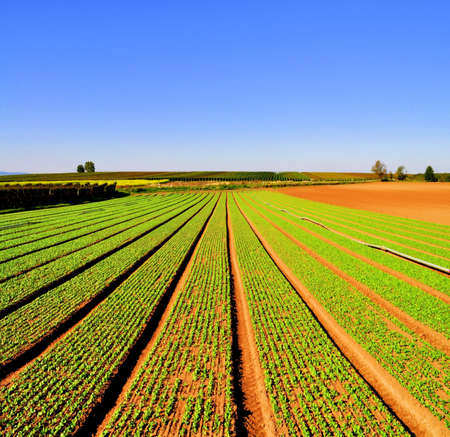 the greenhouse: Agriculture landscape with rows of salad Stock Photo