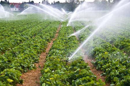 El rocío de agua en un campo de fresas agrícolas Foto de archivo
