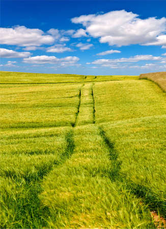 Agricultural wheat field with tractor tracks and blue sky with white clouds photo