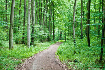 deciduous woodland: Hiking trail leading through a beech forest in spring