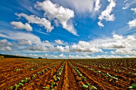 seedling growing: New salad plants in rows with a dramatic sky Stock Photo