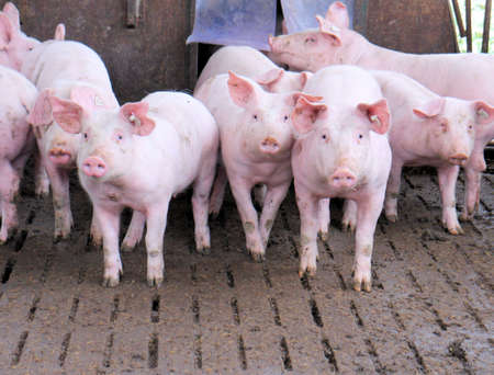 Group of pigs in a stable photo
