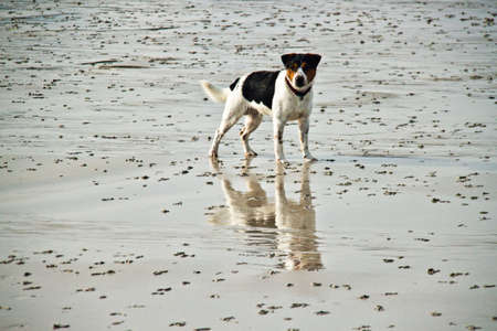 jack russell terrier: Young Jack Russell Dog on a wet beach Stock Photo