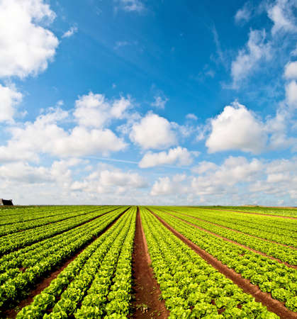 Rows of salad and a blue sky on a field in the Bretagne in France photo