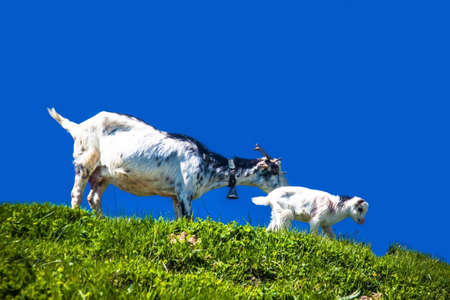 nanny goat: Nanny goat and goatling on a meadow with blue sky background