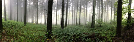 Panorama of a pine forest in the fog