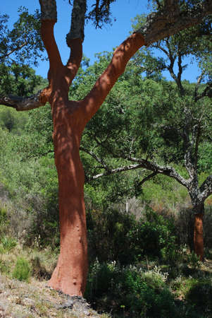 Kurkeiken met schors ontdaan, Sierra de los Alcornocales, provincie Málaga, Andalucia, Spanje, West-Europa