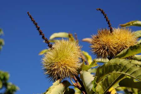 Ripe chestnuts on tree in the forest, Igualeja, Serrania de Ronda, Malaga Province, Andalucia, Spain, Western Europe