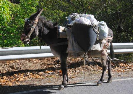 laden: Fully laden donkey , Igualeja, Serrania de Ronda, Malaga Province, Andalucia, Spain, Western Europe