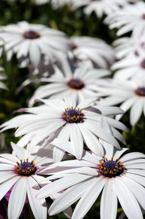 centred: White Osteospermum flowers, Costa del Sol, Malaga Province, Andalucia, Spain, Western Europe
