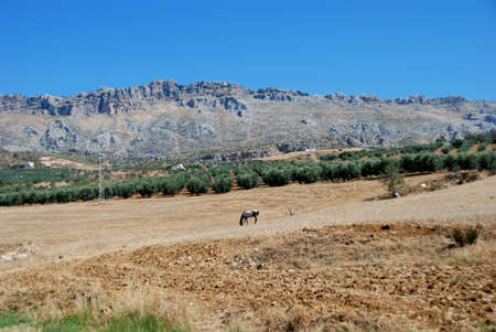 Horse grazing in field with El Torcal mountains to rea, Near Almogia, Costa del Sol, Malaga Province, Andalucia, Spain, Western Europe  photo