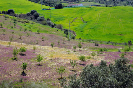 Field with lilac spring flowers and trees, Near Ardales, Malaga Province, Andalucia, Spain, Western Europe  Stock Photo - 13510124