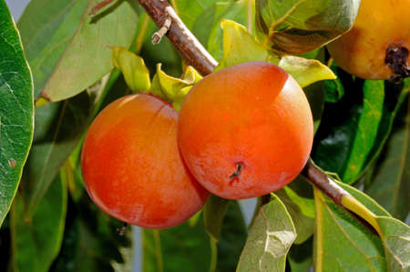 Ripe Persimmon fruit growing on tree, Andalusia, Spain, Western Europe   Stock Photo
