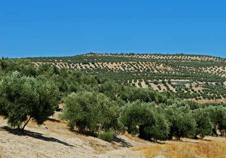 Uitzicht op olijfgaarden en platteland, Baeza, Jaen provincie, Andalusië, Spanje, West-Europa