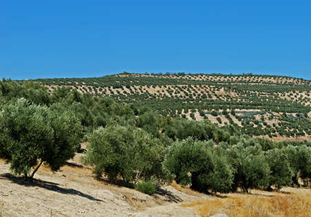 View of olive groves and countryside, Baeza, Jaen Province, Andalucia, Spain, Western Europe