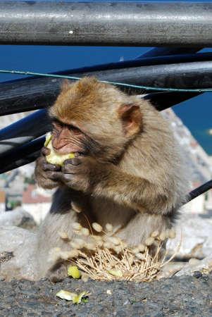 barbary ape: Young Barbary Ape  Macaca Sylvanus  eating an apple, Gibraltar, UK