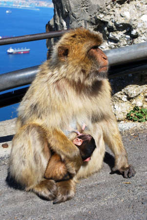 barbary ape: Barbary Ape  Macaca Sylvanus  feeding her baby, Gibraltar, UK  Stock Photo