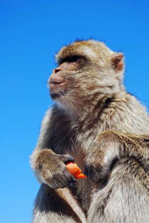 barbary ape: Barbary Ape  Macaca Sylvanus  eating a piece of carrot, Gibraltar, UK  Stock Photo