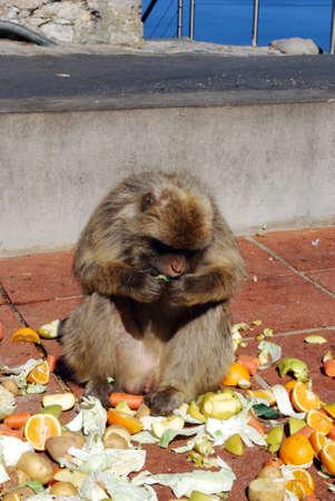 sylvanus: Barbary Apes  Macaca Sylvanus  eating raw fruit and veg, Gibraltar, UK