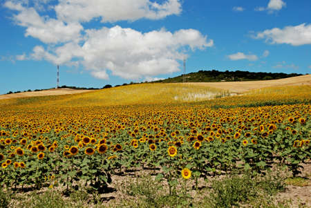 western europe: Sunflower field, Medina Sidonia, Cadiz Province, Andalusia, Spain, Western Europe