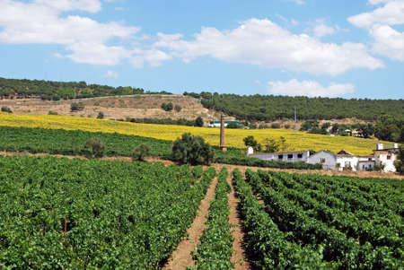 Vineyards with sunflowers to the rear, Cortes de la Frontera, Malaga Province, Andalusia, Spain, Western Europe  photo