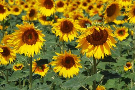 Sunflower field, Medina Sidonia, Cadiz Province, Andalusia, Spain, Western Europe