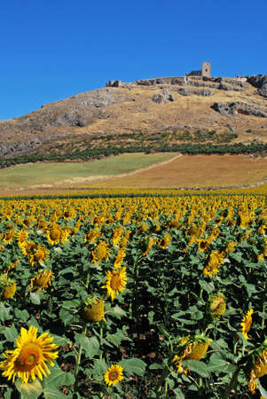 Sunflower field with castle ruin to the rear, Teba, Malaga Province, Andalusia, Spain, Western Europe  photo