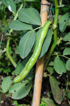 Mature broad beans  Histal  on plant tied to a cane  Stock Photo
