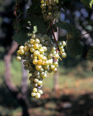 massa: Grapes on the vine, Massa Lubrense, Campania, Italy, Europe