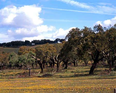 Cork Oak Trees, Alentejo region, Portugal, Western Europe  photo