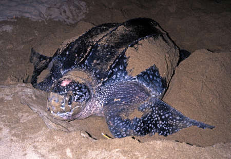Leatherback Turtle laying eggs on Grafton beach, Tobago, Trinidad and Tobago, Caribbean, West Indies