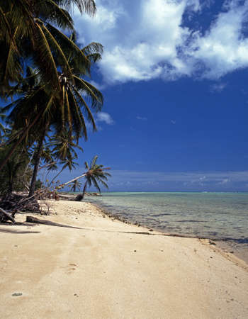 Beach   palm Trees at Pigeon Point, Tobago, Trinidad   Tobago, Caribbean, West Indies photo