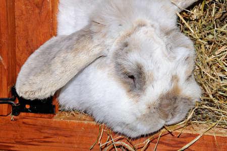 hutch: Close up of a Dwarf Lop  Mini Lop  rabbit in a hutch