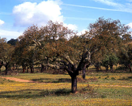 Cork Oak Tree, Alentejo region, Portugal, Western Europe  photo