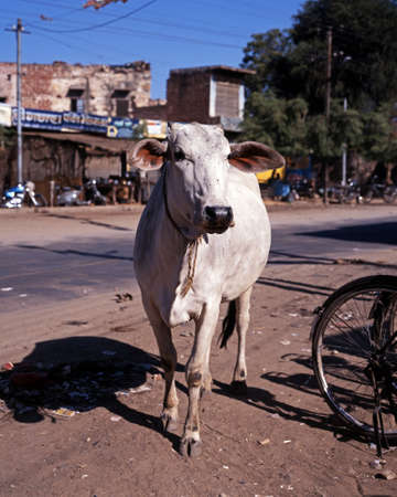 india cow: White cow standing in the street, Jaipura, Rajasthan, India  Stock Photo