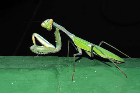 viridis: Praying Mantis, Costa del Sol, Malaga Province, Andalucia, Spain, Western Europe