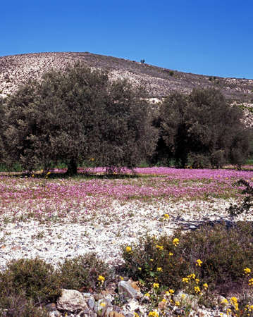 foothills: Olive trees and spring flowers, Foothills of Troodos Mountains, Cyprus