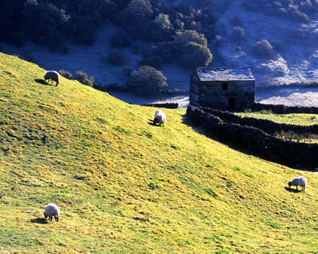 Sheep grazing in a frosty field Nr  Keld, Swaledale, Yorkshire dales, North Yorkshire, England